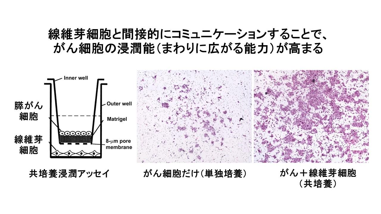 膵臓がん共培養浸潤アッセイ