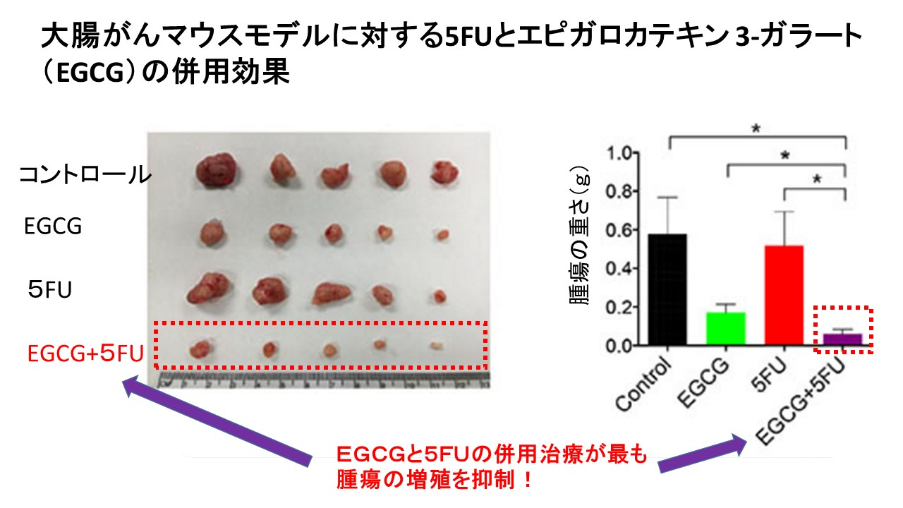 カテキン5FU大腸がんマウスモデル
