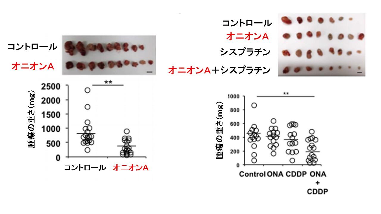 オニオンA卵巣がんマウス