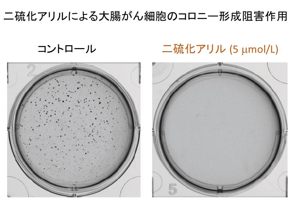 二硫化アリル大腸がん細胞コロニー形成