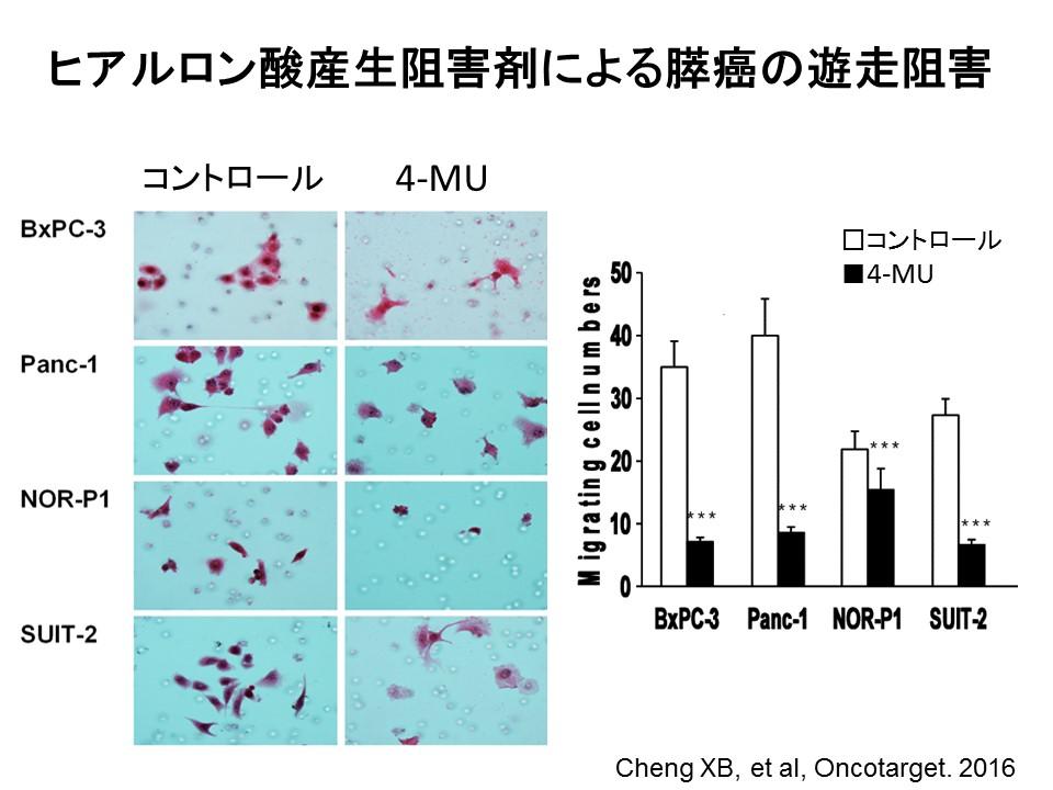 4-MUによる膵癌細胞の遊走阻害