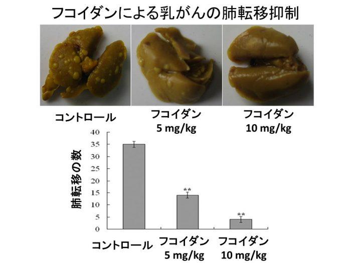 フコイダン乳癌マウス肺転移