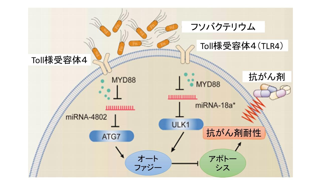 フソバクテリウムによる抗がん剤耐性のメカニズム