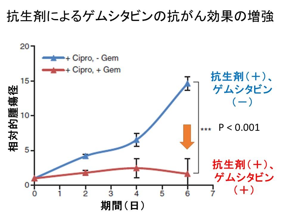 抗生剤によるゲムシタビン効果増強