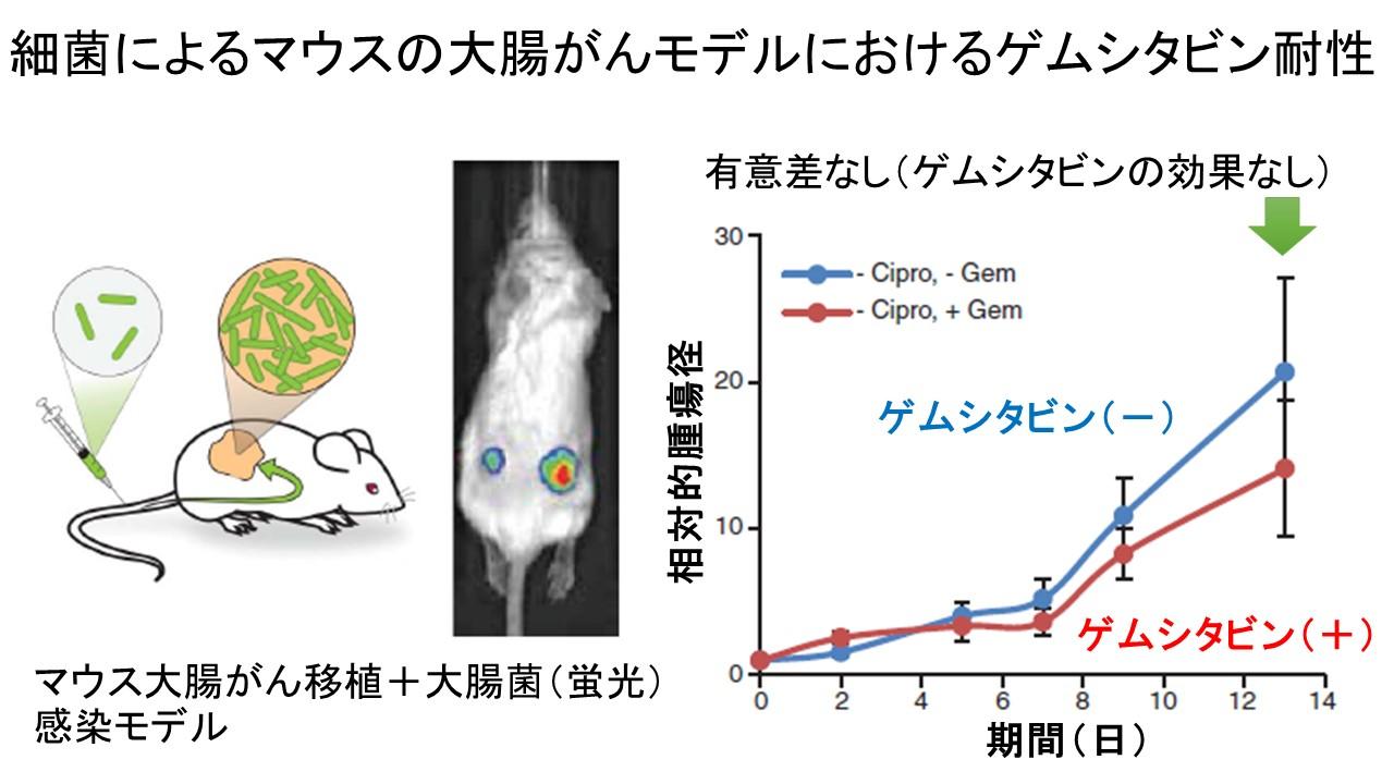 腫瘍内バクテリアとゲムシタビン耐性