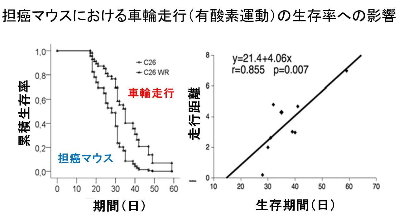 C26担癌マウスと車輪走行による生存率改善