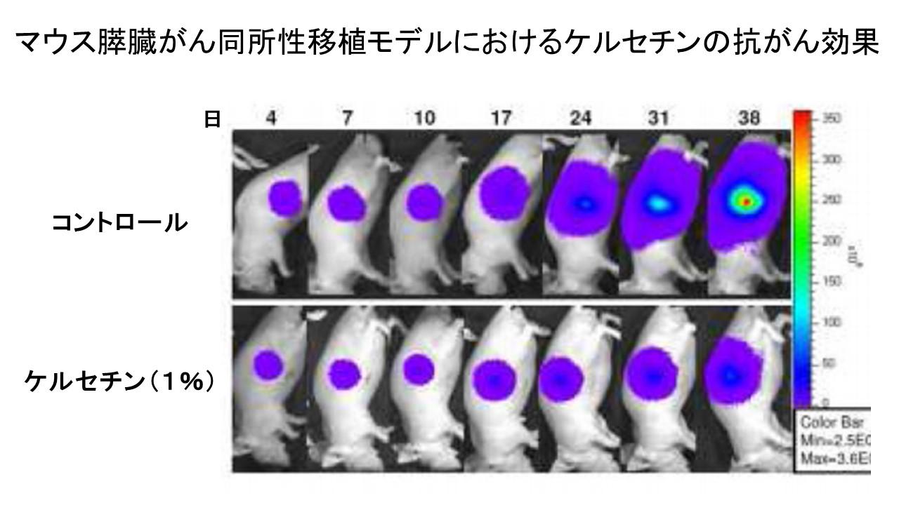 マウス同所モデルケルセチン膵臓がん