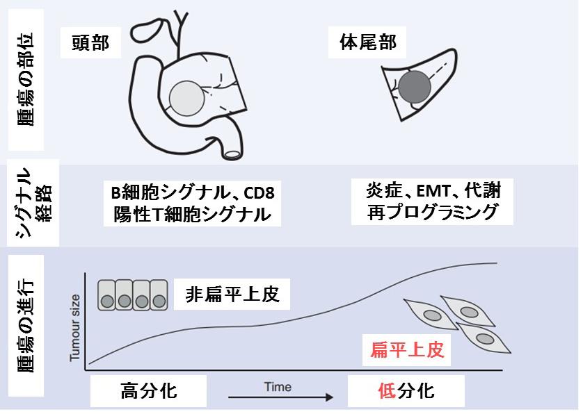 膵体尾部がん分化仮説