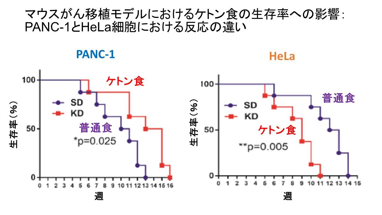 マウス移植モデルケトン体分解酵素