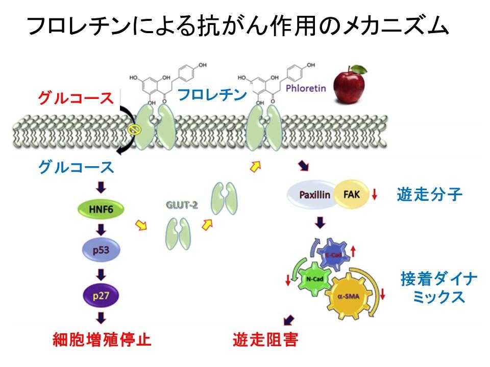 フロレチンによる抗がん作用メカニズム